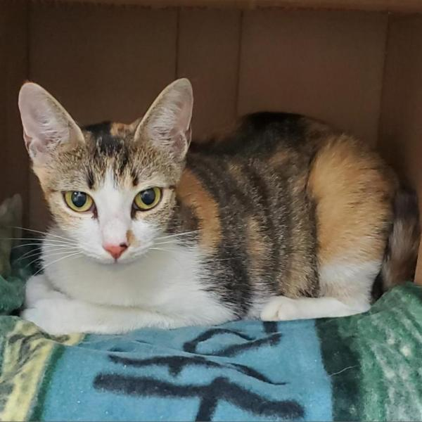 Feather, a year-old domestic shorthair female feline, is among featured animals BRHS has for adoption.