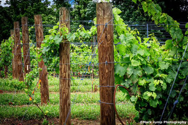 The grapes on the vine at Sawyer Springs Vineyard.  Courtesy of Mark Jump Photography.