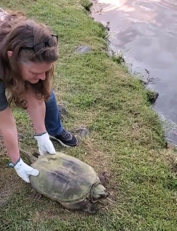 Vergara releasing a snapping turtle back into Lake Louise. The turtle had a lure caught in its beak. Photo courtesy of Nancy Vergara.